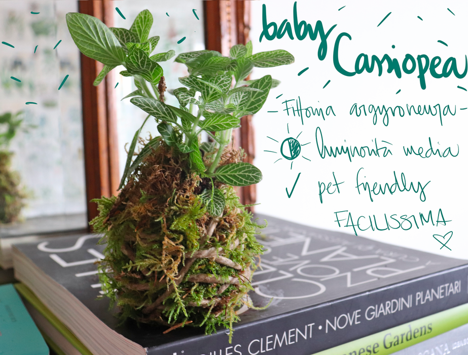 baby_kokedama_cassiopea.png
