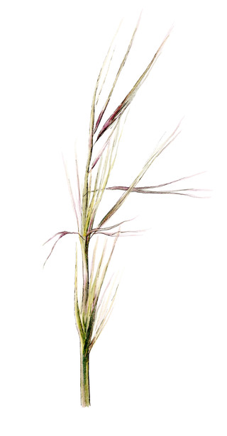 Purple Needlegrass
