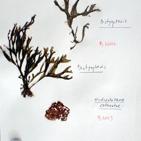Hydroclathrus