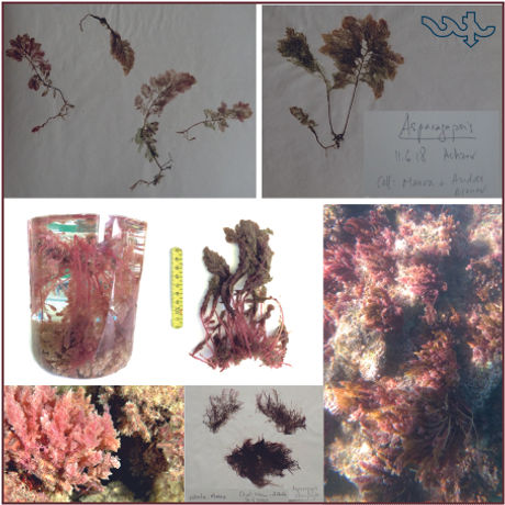 Asparagopsis.jpg