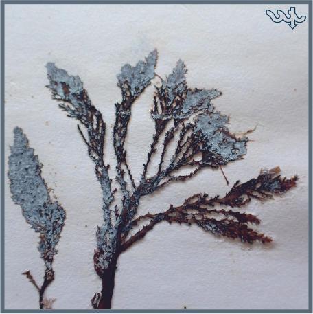 Acanthophora