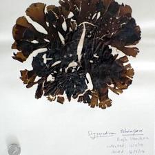 Stypopodium