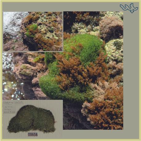 Cladophoropsis.jpg