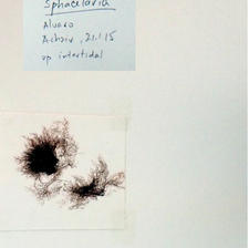 Sphacelaria