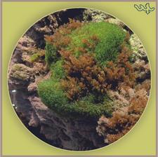 Cladophoropsis