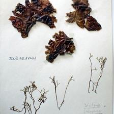 Lobophora