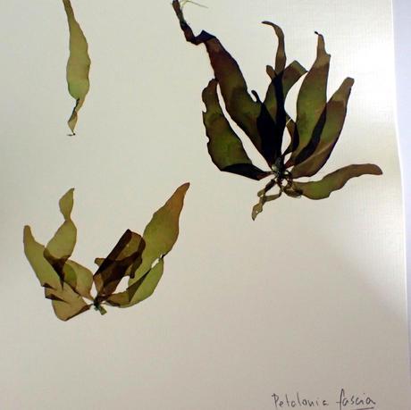 Petalonia