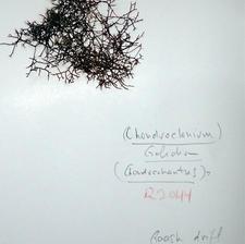 Chondroclonium