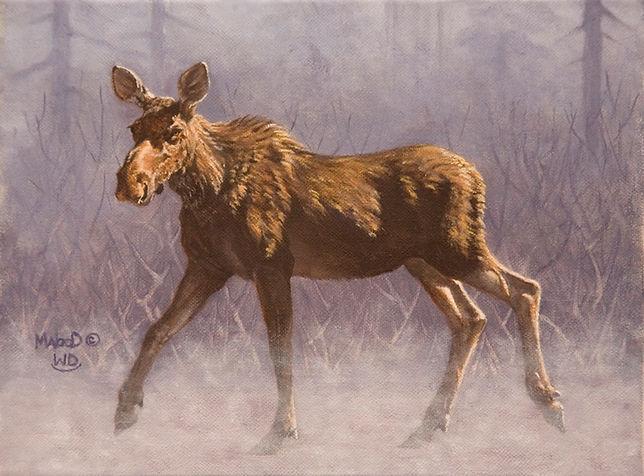 Cow Moose Study