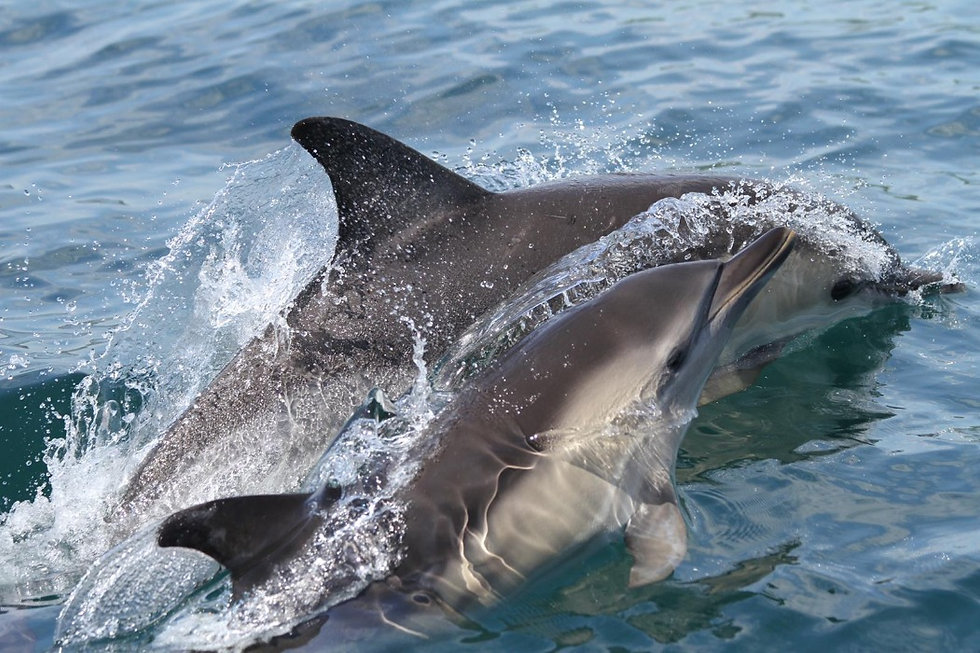 Common dolphin, mum and calf, Dolphin Watch UK