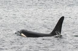 Orca 15 Shetland.jpg