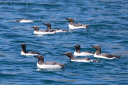 Flock of Guillemots on the water Sark, D