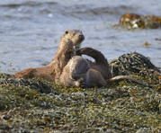 Otter with cubs Shetland.jpg