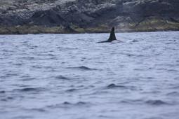 Orca Shetland.jpg