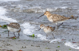 Birds shetland 3.jpg