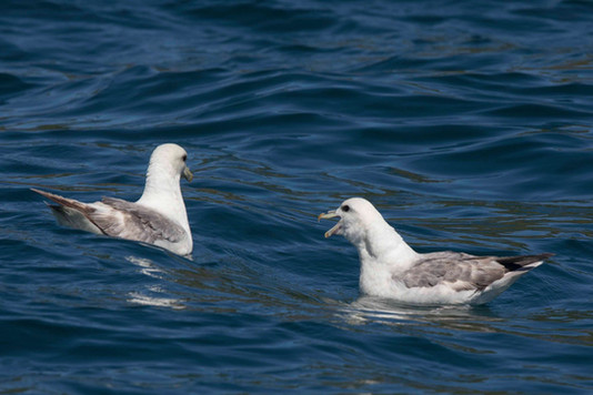 Two fulmars on the water, Sark, Dolphin