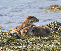 Otter with cubs Shetland 2.jpg