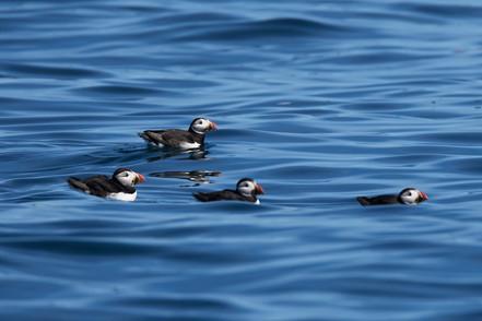4 Puffins, Sark, Dolphin Watch UK.jpg
