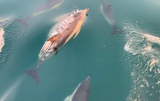 Dolphin%20Watch%20UK%20BRIXHAM%20common%