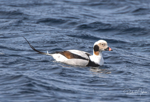 Long tailed duck Shetland.jpg