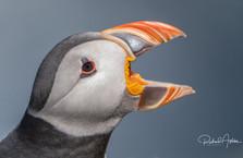 Puffin Shetland.jpg