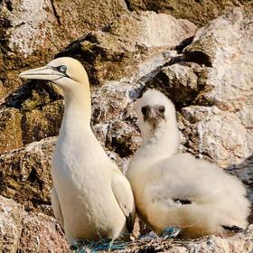 Gannet and Chick.jpg