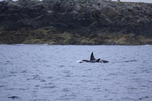 Orca 7 shetlands.jpg