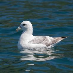 fulmar on the water, Sark, Dolphin Watch