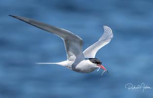 Artic Tern Shetland.jpg