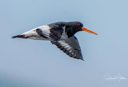 Oyster Catcher Shetland 3.jpg