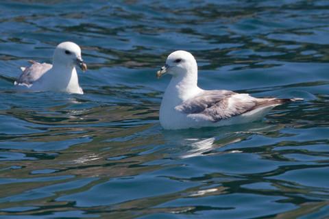 fulmars on the water, Sark, Dolphin Watc