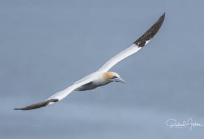 Gannet Shetland 2.jpg