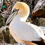 Gannet Alderney.jpg