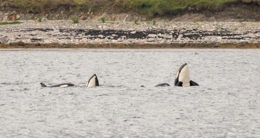 Orca spyhop Shetland.jpg