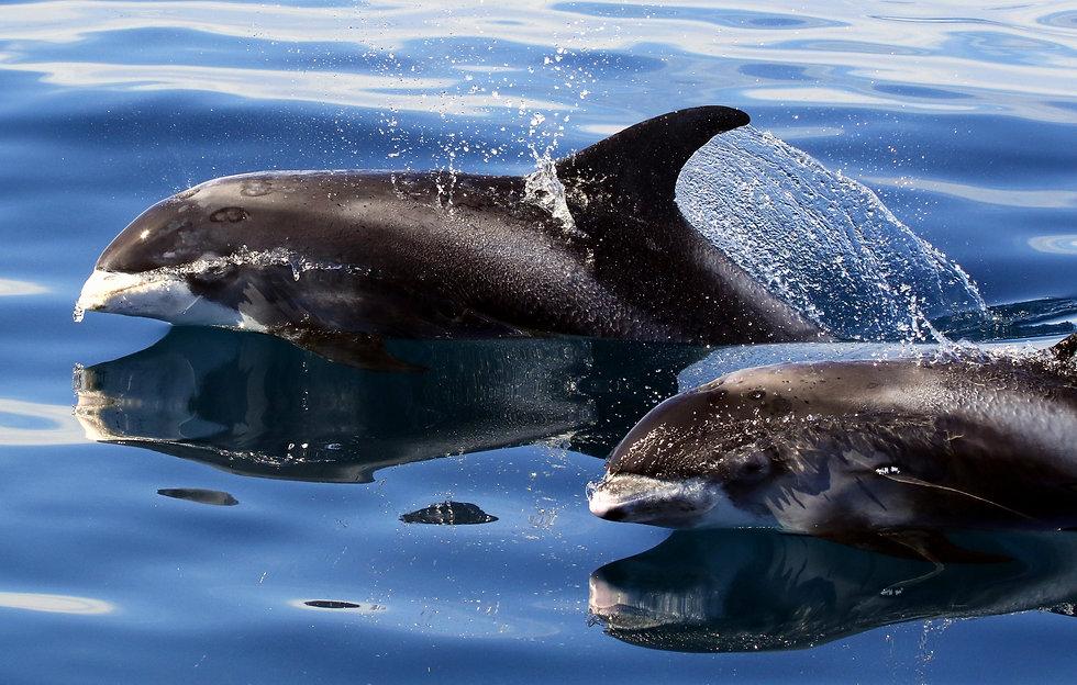 White-beaked Dolphin_12_Tom Brereton.jpg