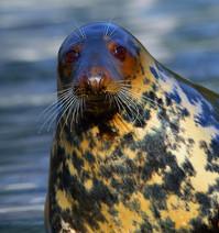 bigstock-The-Grey-Seal-halichoerus-Gry-3