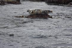 Seal St. Ives.jpg