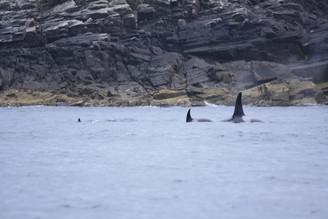 Orca 5 Shetlands.jpg