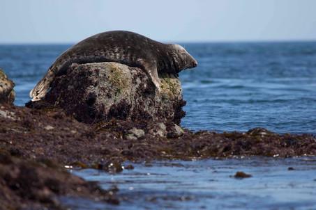 Seal on Sark, Dolphin Watch UK.jpg