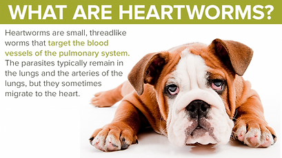 Canine-Heartworms-e1480923133777.png