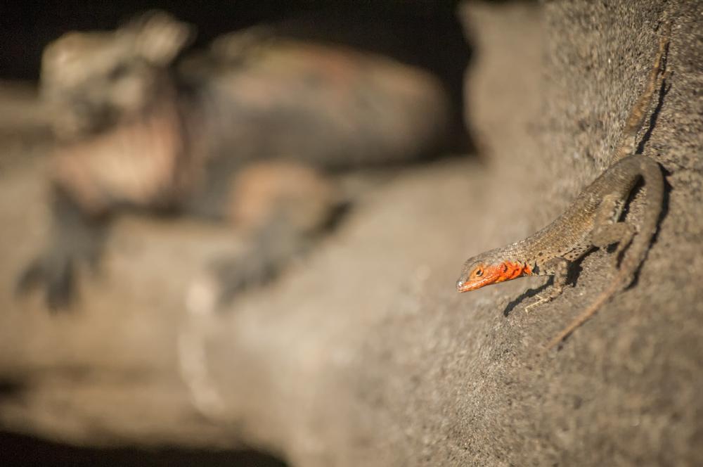 Lagartija de Lava e Iguana Marina
