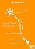 Motor Neurone.png