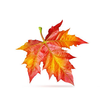 Red maple autumn leaf isolated white bac