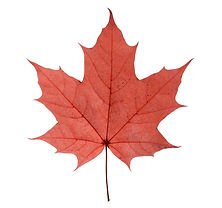 maple closeup leaf isolated on white bac