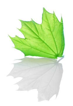 Green maple leaf isolated on white backg