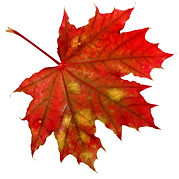 one red autumn leaf isolated on a white