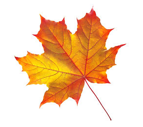 autumn maple leaf isolated on white back