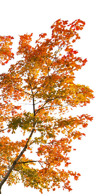 red autumn maple tree isolated on white
