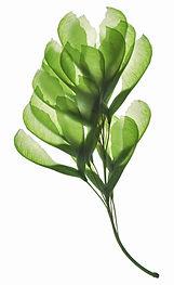 Seeds of maple on a gleam, capillaries o
