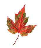 autumn maple leaf isolated on a white ba